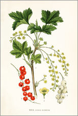 Wall sticker  Red Currant - Carl Axel Magnus Lindman