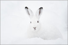 Gallery print  Mountain hare in winter - Peter Wey