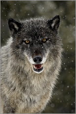 Gallery print  Wolf in the snow - James Hager