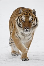 Wall sticker  Siberian Tiger in the snow - James Hager