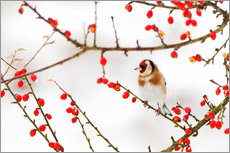 Wall sticker  Goldfinch in winter - Ann & Steve Toon