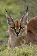 Wall sticker  Caracal  - James Hager