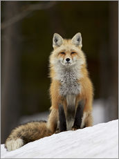 Wall Sticker  Red Fox (Vulpes vulpes) (Vulpes fulva) in the snow, Grand Teton National Park, Wyoming, United State - James Hager