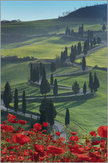 Gallery print  Winding road and poppies, Montichiello, Tuscany, Italy, Europe - Angelo Cavalli