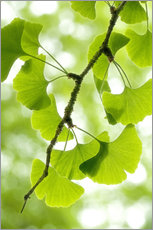 Gallery print  Gingko - Thomas Herzog