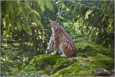 Wall sticker  Lynx in the Bavarian National Park - Roberto Moiola