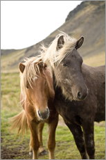 Gallery Print  Horses, South Iceland, Northern Europe