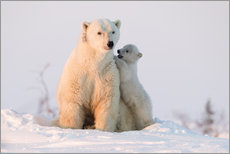Gallery print  Polar bear (Ursus maritimus) and cub, Wapusk National Park, Churchill, Hudson Bay, Manitoba, Canada, - David Jenkins