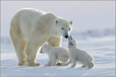 Wall sticker  Polar bear family, Wapusk National Park - David Jenkins