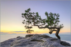 Wall sticker  Pine on the Lilienstein, Saxon Switzerland - Michael Valjak