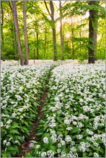 Gallery print  Wild Garlic Trail - Dave Derbis