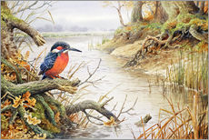 Gallery print  Kingfisher - Carl Donner