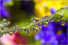 Gallery print  Water Drops On A Flower Stem - Craig Tuttle