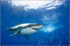 Gallery print  Great White Shark in front of Guadalupe - Dave Fleetham