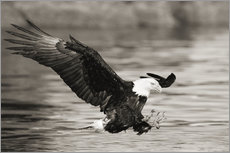 Gallery print  Bald Eagle Hunting - John Hyde
