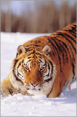 Wall sticker  Siberian Tiger in the snow - John Hyde
