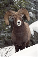 Gallery print  Bighorn Sheep in Jasper National Park - Darwin Wiggett