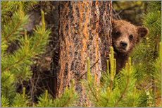Gallery print  Grizzly bear behind a tree - Robert Postma
