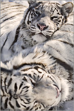 Wall sticker  White Bengal Tiger - Chad Coombs