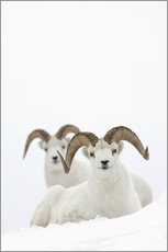 Wall sticker  Two sheep in the snow - Milo Burcham