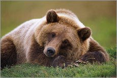 Gallery print  Lying brown bear - Doug Lindstrand