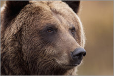 Wall Stickers  Portrait of Grizzly Bear - Doug Lindstrand
