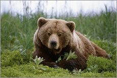 Gallery print  Brown bear in the grass - Doug Lindstrand