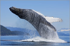 Wall Stickers  Jumping Humpback Whale - John Hyde