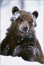 Gallery Print  Grizzly in the snow - Doug Lindstrand
