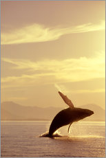 Gallery print  Looming humpback whale - John Hyde