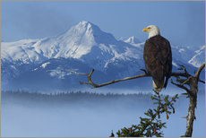 Wall Stickers  Bald Eagle on a Spruce - John Hyde