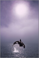 Gallery print  Orca at dawn - John Hyde