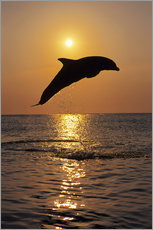 Gallery Print  Dolphin in the sunset - Tom Soucek