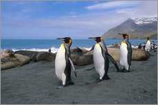 Gallery print  King Penguins on South Georgia Iceland - Tom Soucek