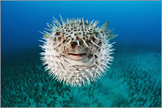 Wall sticker  Spotted porcupinefish - Dave Fleetham