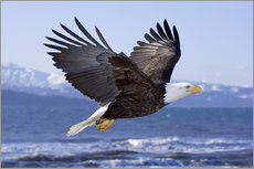Gallery print  Flying Bald Eagle - Don Pitcher