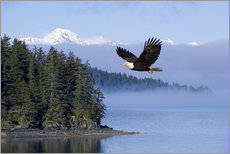 Wall Stickers  Bald Eagle in flight - John Hyde