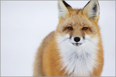Gallery print  Fuchs in Portrait - Robert Postma
