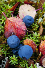 Gallery print  Blueberries in autumn - Cathy Hart