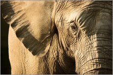 Gallery print  Elephant - Chris Knorr