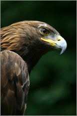 Gallery print  Golden eagle - Deddeda