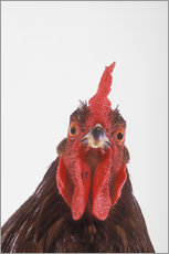 Gallery print  Rooster - Kitchin & Hurst