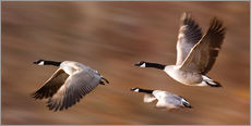 Gallery print  Canada Geese In Flight - Don Hammond