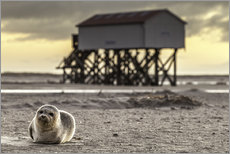 Gallery print  Robbe in St Peter Ording - Daniel Rosch
