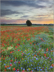 Gallery print  Poppies - Rainer Mirau