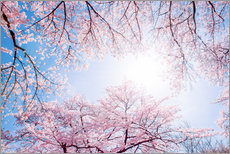 Wall sticker pink cherry blossom in spring with backlight and blue sky