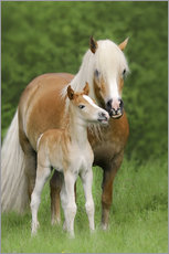 Wall sticker  Haflinger Horse Foal with Mum - Katho Menden