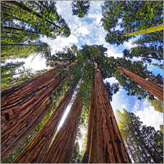 Gallery print  giant Sequoia - Michael Rucker