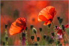 Gallery print  Poppies in Provence - Christian Müringer