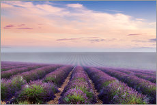 Wall sticker  Landscape: lavender field in summer at sunrise, Provence, France - Matteo Colombo